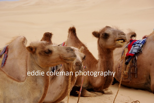 camels taking a break - MTGD4 9